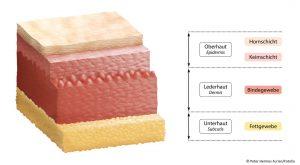 Aubau der Haut Bindegewebe